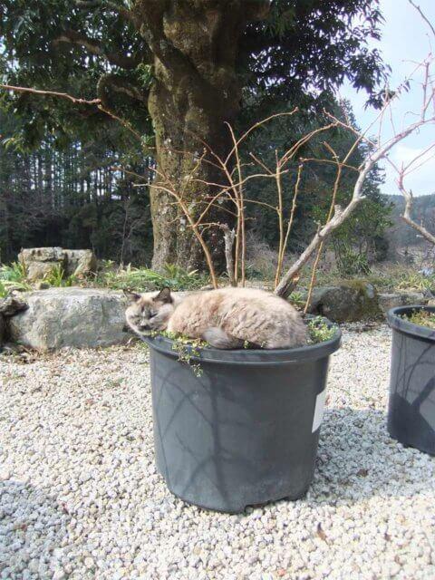 """ブルーベリーの鉢で眠る飼い猫の""""うずら"""""""