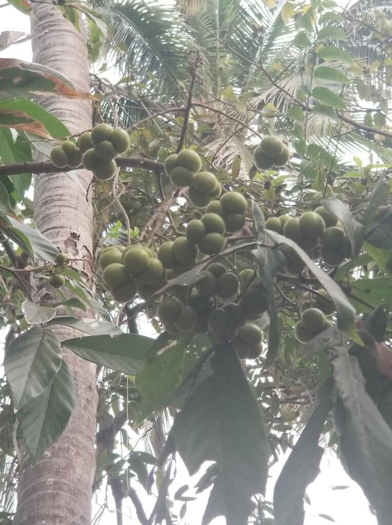 ソープナッツの木