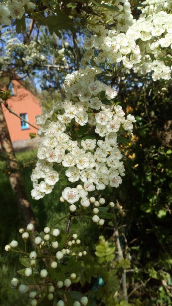 庭のリンゴの花