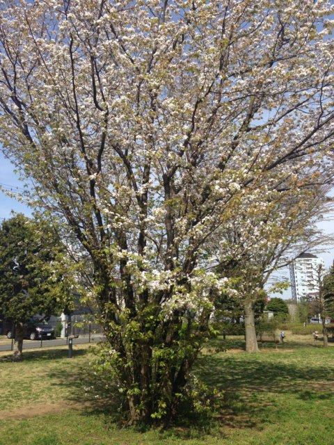 花盛りの樹